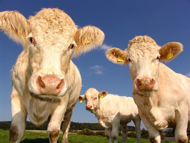 produits écornage bovins